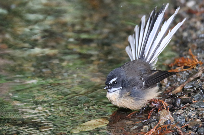 fantail by freshwater